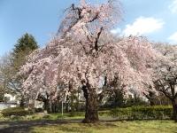 20190331ICU桜1