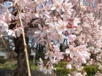 20190331ICU桜2