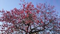 三鷹の梅・桜1