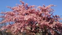 三鷹の梅・桜2