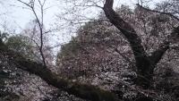 三鷹の梅・桜3
