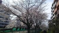 三鷹の梅・桜5