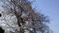 三鷹の梅・桜7