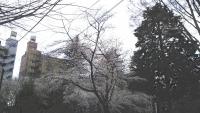 三鷹の梅・桜8