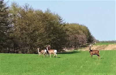 鹿の群れ2