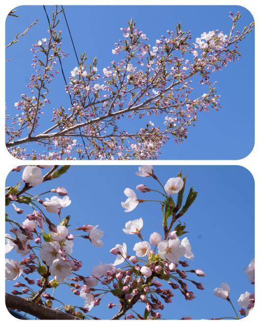 桜の開花1-1
