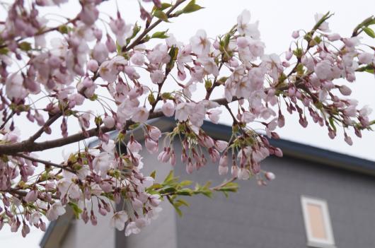 桜の開花2-1