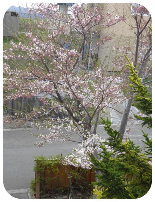 桜の開花4-1