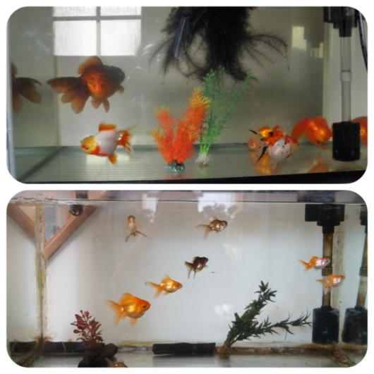 金魚1(1)