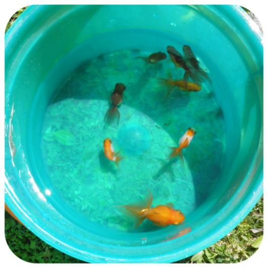 金魚2(1)