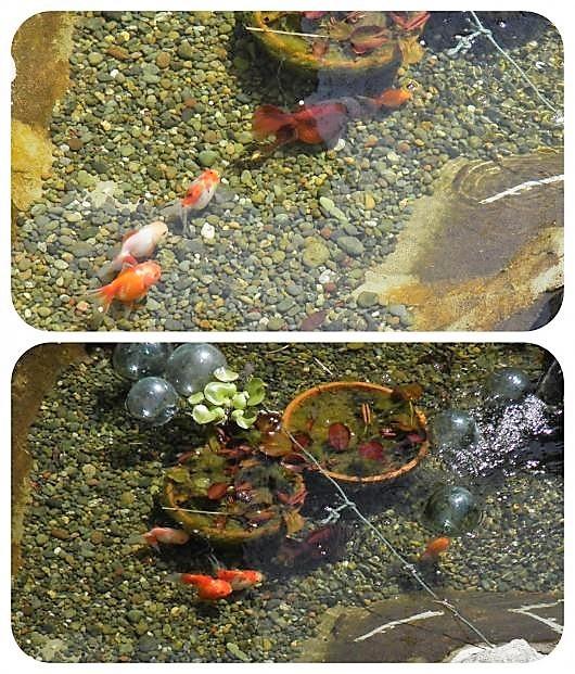金魚3(1)