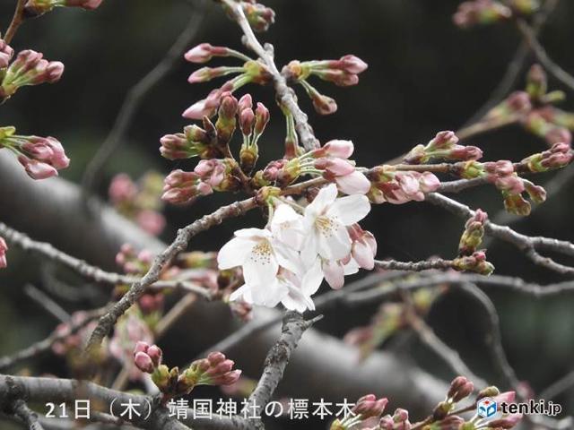 190321 都心で桜開花