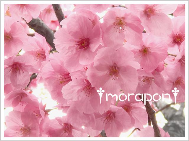 190322 陽光桜-1