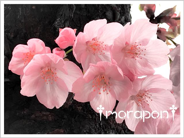 190322 陽光桜-2