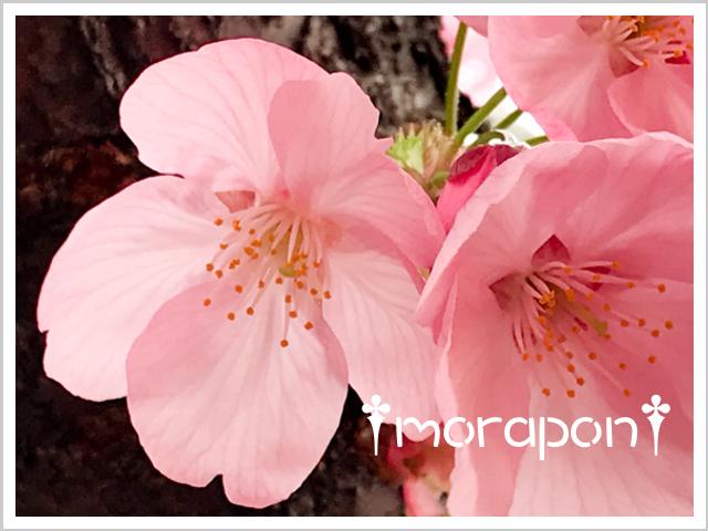 190322 陽光桜-3