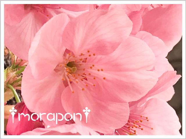 190322 陽光桜-4