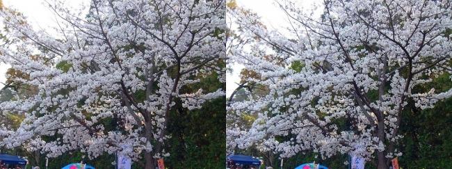 さざなみ公園・桜③(平行法)