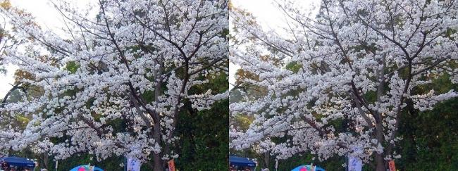 さざなみ公園・桜③(交差法)
