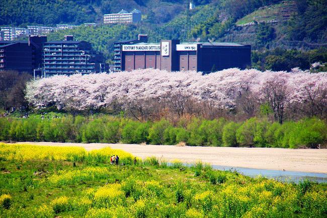 八幡背割堤の桜並木とサントリー山崎蒸溜所