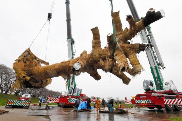 樹齢100年超巨大クスノキの移植