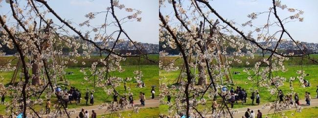 背割堤桜並木⑭(平行法)