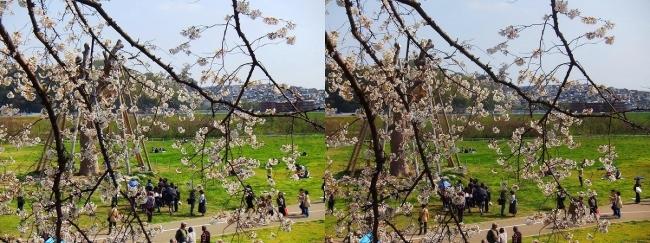 背割堤桜並木⑭(交差法)