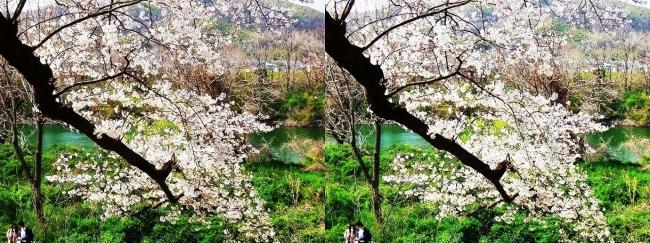背割堤桜並木⑬(平行法)