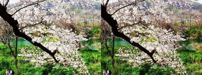 背割堤桜並木⑬(交差法)