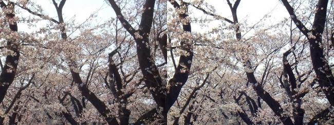 背割堤桜並木⑫(平行法)