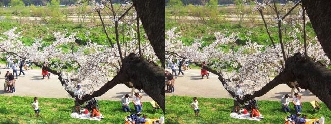 背割堤桜並木⑪(交差法)
