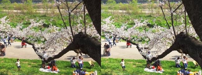 背割堤桜並木⑪(平行法)
