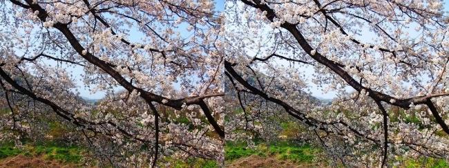 背割堤桜並木⑩(平行法)