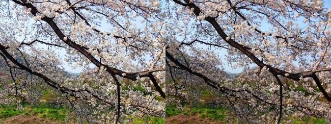 背割堤桜並木⑩(交差法)