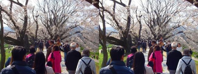 背割堤桜並木⑨(平行法)