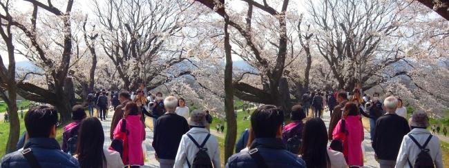 背割堤桜並木⑨(交差法)