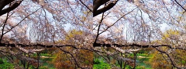 背割堤桜並木⑦(平行法)