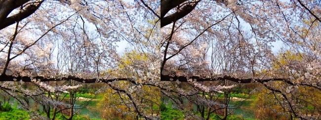 背割堤桜並木⑦(交差法)