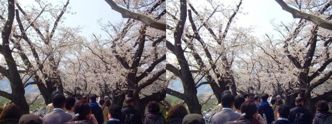 背割堤桜並木⑥(平行法)