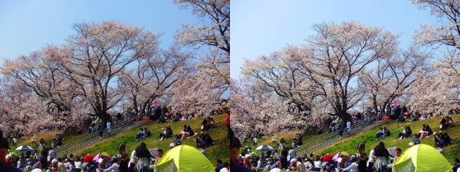 背割堤桜並木④(平行法)
