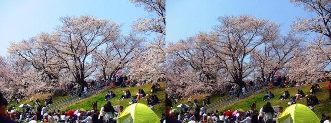 背割堤桜並木④(交差法)