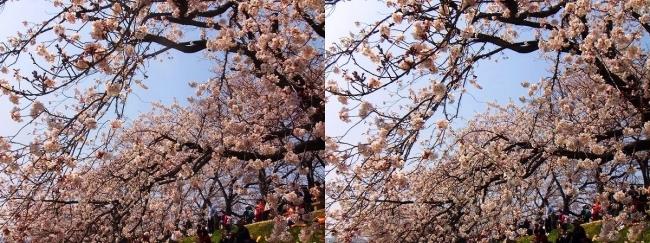 背割堤桜並木③(平行法)