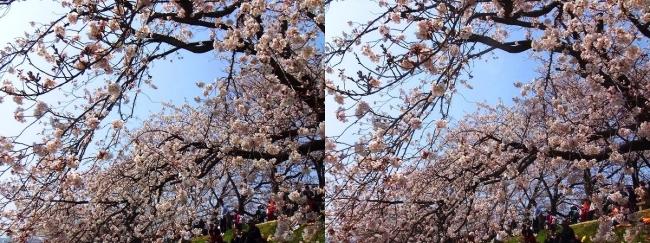 背割堤桜並木③(交差法)