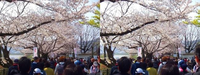 背割堤桜並木①(平行法)