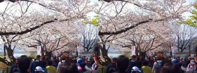 背割堤桜並木①(交差法)