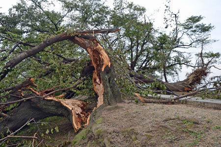 台風21号の暴風で倒れた背割堤の桜の木
