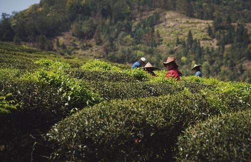 2019 年岩茶茶摘み