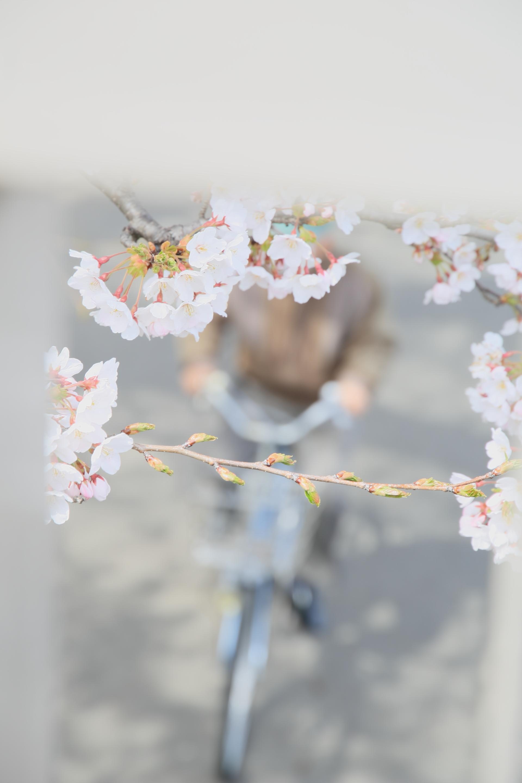 sakura sakura 02-a0011