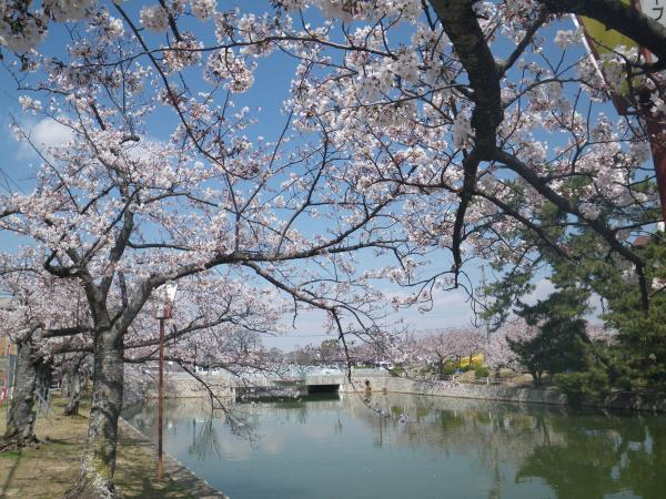 九華公園の桜1