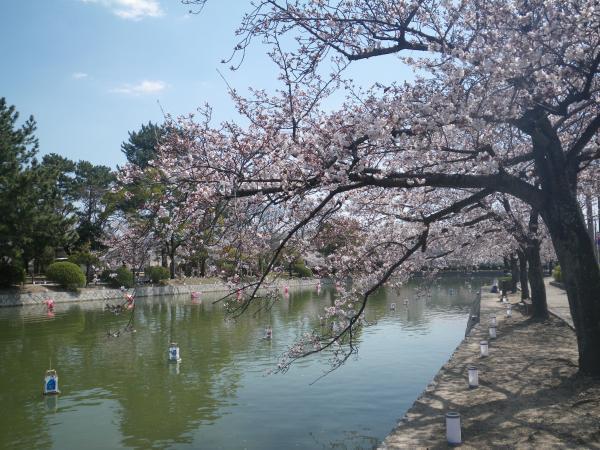 九華公園の桜3