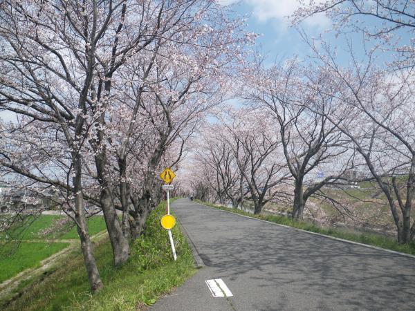 犀川堤の桜1